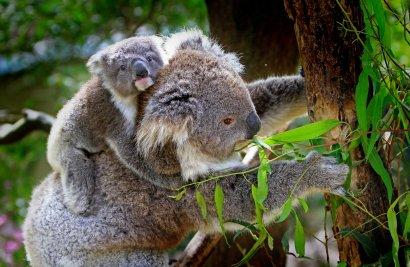 Nachwuchs im Duisburger Koala-Haus